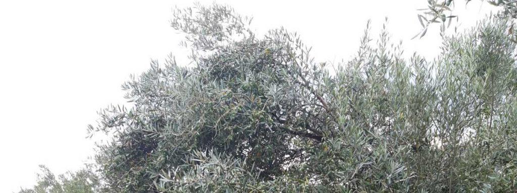 Los Olivos de Corazón del Mediterráneo