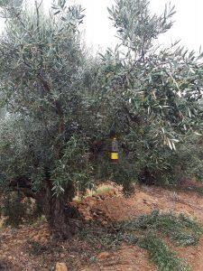 Olivo 1