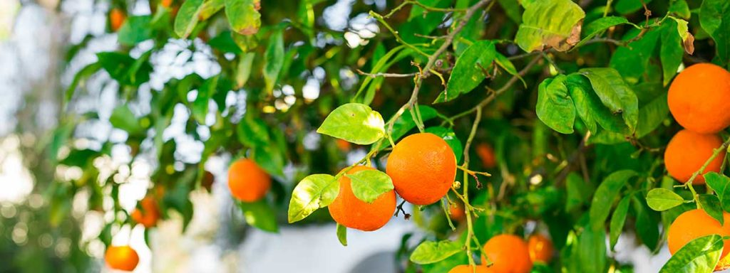 ¿Cómo plantar y cuidar un naranjo?