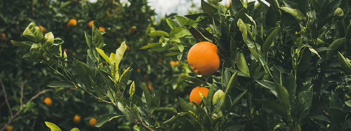 Naranjas - ¿Cómo plantar y cuidar un naranjo?