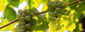 Información sobre la Uva Moscatel