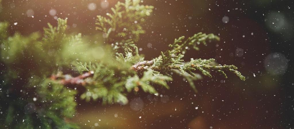 Navidad – Plantas